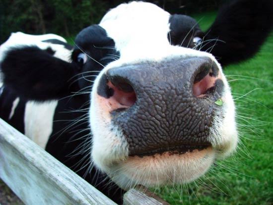 Se han rescatado 2 mil 160 vaquillas en Colima