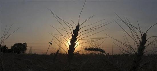 Hallazgo de trigo mutado en EE.UU. estremece los mercados agrícolas mundiales
