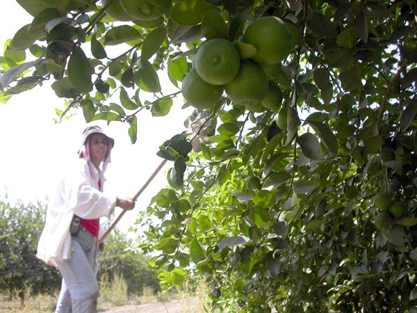 Consejo Limonero prevé que precio del limón baje a finales de mayo