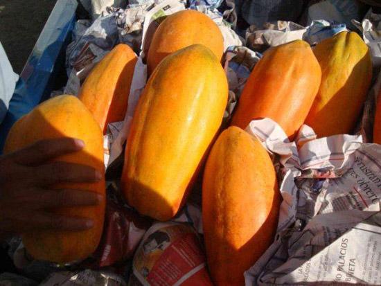 Papaya, principal producto de exportación de Colima