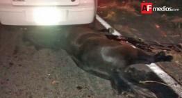 Automóvil se impacta con caballo en Cuauhtémoc, no hay heridos