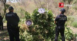 Policía Federal destruye 15 toneladas de marihuana en Tuxpan, Jalisco