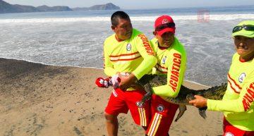 PC captura cocodrilo en playa