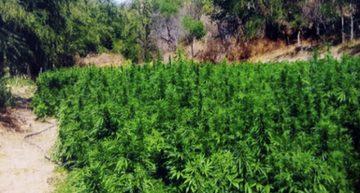 En Ciudad Guzmán destruyen más de 7 mil plantas de marihuana