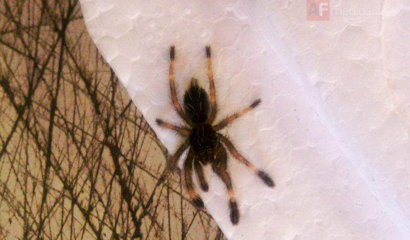 Decomisan arañas en cartuchos de videojuegos en Aeropuerto de Guadalajara