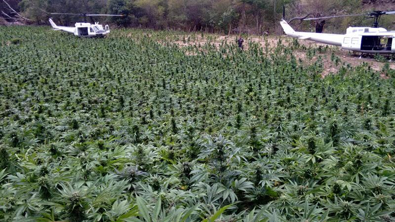 plantio_marihuana_01