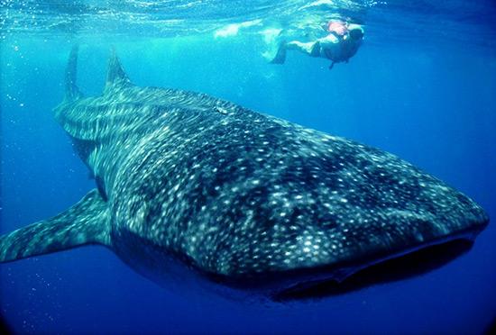 WWF reduce 26 por ciento afectaciones a tiburón ballena