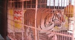 """""""Abandono de animales, es una campaña de victimización de los cirqueros"""": Animalistas"""
