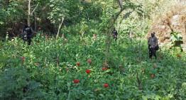 PF localiza y destruye 11 plantíos de amapola en Nayarit