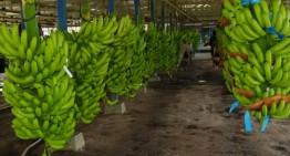 De 28 mil toneladas anuales, el volumen exportable de plátano colimense