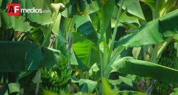 Pendiente de exportar plátano de Colima, Jalisco y Michoacán a China por protocolo sanitario