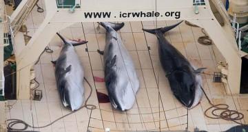 Japón volverá a cazar ballenas en la Antártida pese a las protestas
