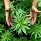 Jóvenes perredistas entregan mil 500 firmas de colimenses que apoyan legalización de marihuana