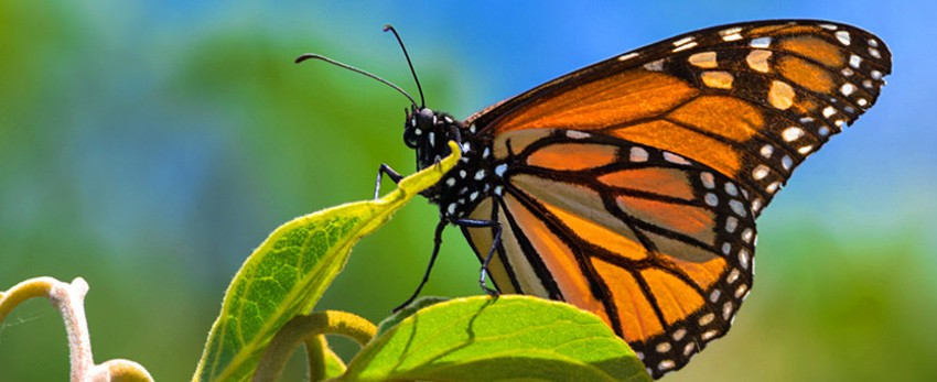 Mariposa monarca en Michoacán y Estado de México