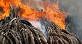 Kenia quema marfil en acción contra caza ilegal de elefantes