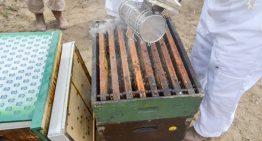Se desconoce causa de muerte de abejas en Durango, Coahuila y Jalisco; Senasica sigue investigando