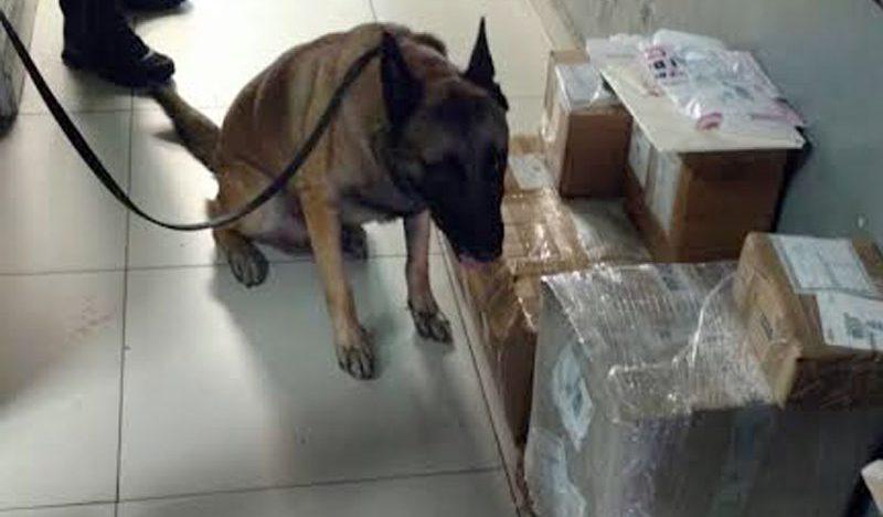 Unidad Canina de PF detecta droga en Central de Autobuses en Jalisco