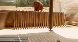 Elefanta mata a una niña de una pedrada