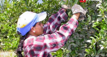 Mejora producción de limón pero no lo suficiente: Sagarpa