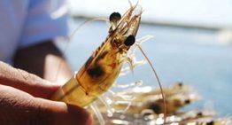 Se levanta veda temporal de camarón en aguas nacionales del océano Pacífico