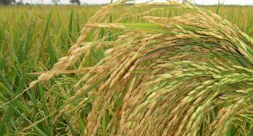 Productores de arroz de Colima van por la duplicación de su producción