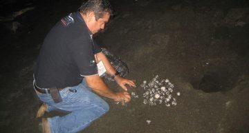 Profepa rescata y reubica 3 nidadas de tortuga marina con 225 huevos