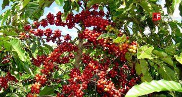 Cae 50 % la producción de café en 'zona alta' de Manzanillo