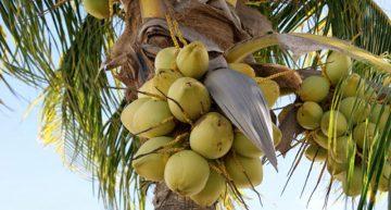Cuadruplicar producción de coco: objetivo de la Seder
