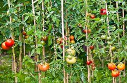Homeopatía en lugar de herbicidas para cultivos: Fundación Produce