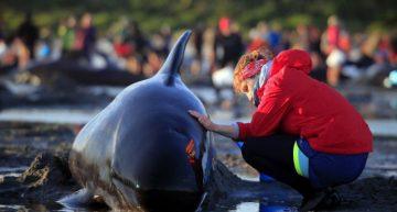 Más ballenas encallan en Nueva Zelanda, suben el total a 650