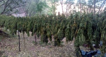 Fiscalía de Jalisco destruye casi 500 mil plantas de mariguana en San Martín de Bolaños