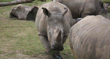 Matan a rinoceronte dentro de zoológico de Francia