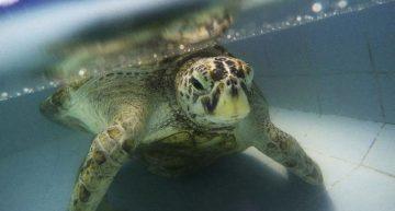 Muere tortuga que comió casi mil monedas en su estanque