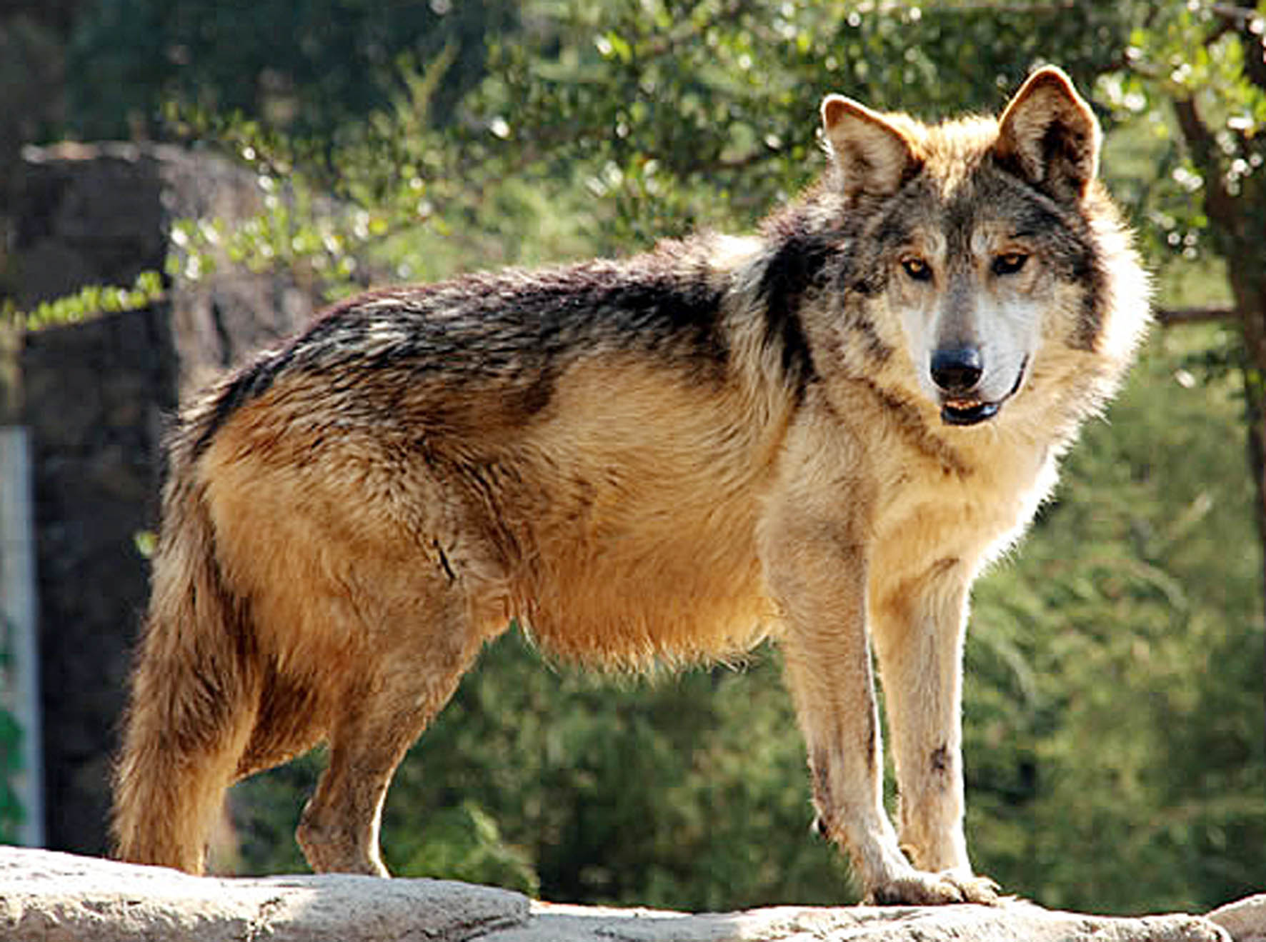 Lobo Gris Mexicano Foto De: México Cuenta Con Un Centro De Rehabilitación Para Lobo Gris